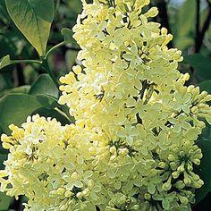 Northern Bayberry Gardening Pinterest Shrub Plants