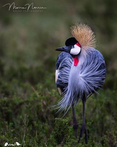 """7,915 Likes, 83 Comments - Nuts About Birds Est Jan 13 (@nuts_about_birds) on Instagram: """"✨Grey Crowned Crane, Kenya ✨ .  Congratulations  @moira_photography . . ✨Your bird photo has been…"""""""