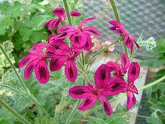 Pelargonium schottii (Pelargonium schottii)