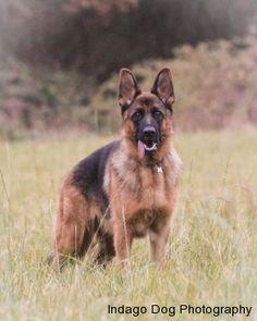 German Shepherd Dog http://IndagoDogPhotography.co.uk