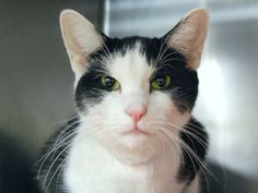 OREO - A1097206 - - Manhattan Please Share:***TO BE DESTROYED 11/22/16*** FRIENDLY AND OUTGOING – OREO IS GOOD WITH KIDS AND NEEDS YOU TO BE HER HERO TONIGHT BY OFFERING TO FOSTER OR ADOPT! - Click for info & Current Status: http://nyccats.urgentpodr.org/oreo-a1097206/