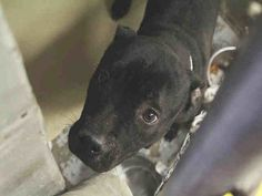 Pictures of RIKKI a American Pit Bull Terrier for adoption in Mesa, AZ who needs a loving home.