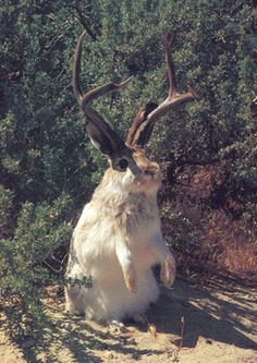 Famous Rabbits #16 - Jack-a-lope