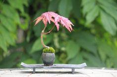 Early summer of taste   ultra mini bonsai blog