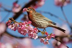 Would you care for a juicy flower Male House Finch With Cherry Blossom in Beak at Tisdall Park in Vancouver BC 19Feb2010  Flickr - Photo Sharing