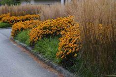 kombination mit calamagrostis karl foerster, rudbeckia goldsturm und carex morrowii