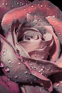 rose drops by aws tfd on Beautiful Rose Flowers, Beautiful Flowers Wallpapers, Pretty Wallpapers, Exotic Flowers, Amazing Flowers, Pretty Flowers, Colorful Roses, Rose Gold Wallpaper, Flower Phone Wallpaper
