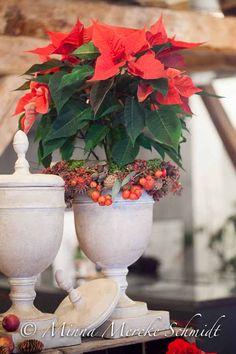 Poinsettia Upgrade |     Christmas flowers by Blomsterfrämjandet & Ingela Wall @blomsterverkstad /Minna Mercke Schmidt