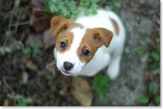 Jack Russell pup. Literally not a day goes by that I don't think about my dog, Pepey. We lost her earlier this year, she was 14 and we got her when I was 5. She looked just like this with a little brown spot on her side