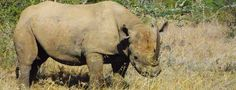 Help bring black rhinos back from the brink of extinction.