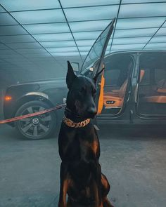Black Doberman, Doberman Dogs, Doberman Pinscher, Dobermans, Cute Baby Animals, Animals And Pets, Voiture Rolls Royce, Scary Dogs, Gangsters