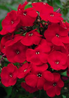 Volcano phlox 'Red'. A great butterfly attracting plant.