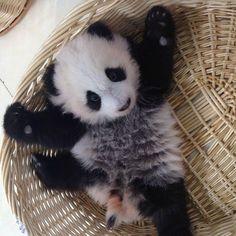 Panda fofinho