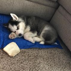 I wanna husky puppy someday! Mav would love to play with them too