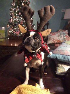 Boston Terrier at Christmas