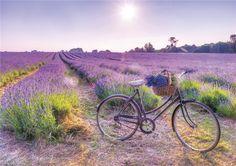 Biking to fields of lavender in my dreams. Lavender Cottage, Lavender Fields, Lavender Color, Lavender Flowers, Purple Roses, Beautiful Flowers, Beautiful Places, Color Lavanda, Valensole