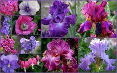 World of Irises: TALL BEARDED IRIS AND COMPANION PLANTS PART II
