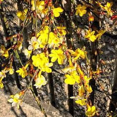 【megurikurumono】さんのInstagramをピンしています。 《「黄梅」おうばい Winter jasmine = Oubai 昨日まで気がつかなかった、ご近所の黄梅✨別名、迎春花梅に形が似ていますが、種族は梅とは異なるそうです。少しの晴れ間に光りながら、塀をあふれて咲いていました花言葉は、恩恵・気高い・期待です✨東京は深夜に小雪が舞うかも、らしいです❄️ 皆さま、ステキな日曜日をお過ごしください✨ #俳句 #haiku #flower #blossom #bloom #自然 #nature #景色 #view #landscape #植物 #plants #botanical #樹木 #trees #forest #森林 #日本 #japan #japanese_culture #flowerlovers #naturelovers #季語 #seasons_words #splendid #spring #春 #桜梅桃李 #東京 #tokyo》
