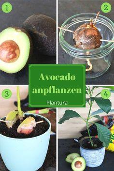 Ihr wollt aus einem Avocadokern einen eigenen Avocadobaum pflanzen? Hier findet Ihr eine Anleitung und DIY wie Ihr eine Avocado anbauen könnt.