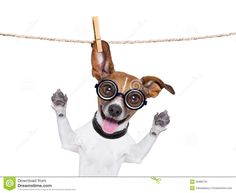 jack russelel honden afbeeldingen | Crazy silly dog with funny glasses hanging on a clothes line.