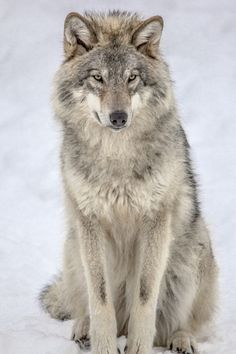 Wolf sitting down side view - photo#13