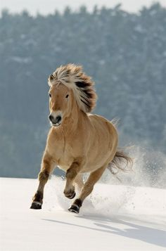 Beautiful fjord horse running in the snow
