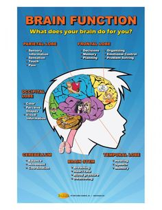 What does your brain do for you? Raise awareness of brain function and why it is so important to protect your brain. This highly visual poster shows various lobes of the brain and some of the functions of each lobe. Brain Stem, Brain Science, Science Fair, Brain Based Learning, Social Emotional Learning, Brain Anatomy, Anatomy And Physiology, Science Lessons, Science Projects