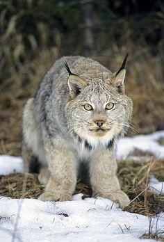 El lince del Canadá (Lynx canadensis) El lince canadiense es un animal…