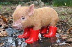 Here piglet...