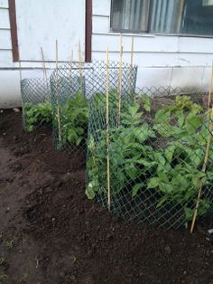Easiest Vertical Potato Growing Method Ever! Use inexpensive materials to construct your towers and all you do is pull out the bamboo stakes when it's time to harvest. Potato Gardening, Organic Gardening, Gardening Tips, Champs, Tower Garden, Edible Garden, The Ranch, Growing Vegetables, Gardens
