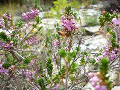 Μέλισσα στο άνθος της ερείκης (σουσούρα), απ' το οποίο προκύπτει ένα μέλι κοκκινωπό με χαρακτηριστικό, λεπτό άρωμα. Flowering Calluna vulgaris (heather)