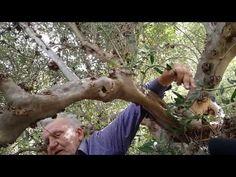 Η τέχνη του κλαδέματος της ελιάς - YouTube Holding Hands, Gardens, Plants, Tuin, Garden, Formal Gardens