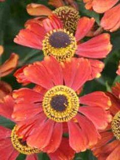 03: Blütenstaude  Helenium 'Moerheim Beauty' / Garten-Sonnenbraut – bis September blüht die Garten-Sonnenbraut und eignet sich auch gut als Schnittpflanze