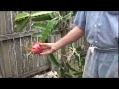 I'm showing how to plant Dragon Fruit. Dragon Fruit Cactus, How To Grow Dragon Fruit, Dragon Fruit Pitaya, Garden Bugs, Garden Care, Garden Plants, Plant Diseases, Plantation, Big Island