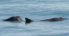 nog slechts 30 Californische bruinvissen in leven