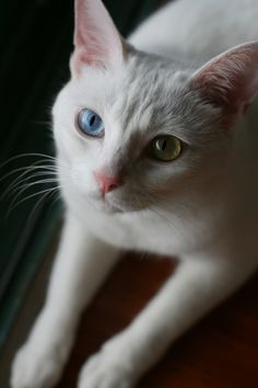 I used to have a cat that looked exactly like this one!!!! Even had senior pics with him!