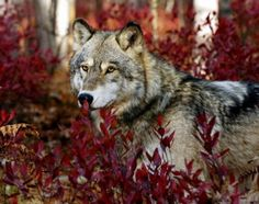 Gray Wolf--Wolfwatcher Photo