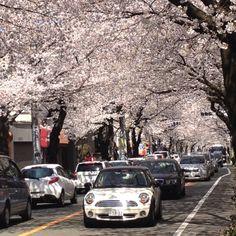 Tunnel of cherry blossom, Tokyo