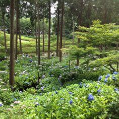 家族5人と祖母でいった、京都 三室戸寺。別名 紫陽花寺。 ちょうど見頃の時期で綺麗な紫陽花。 一眼レフも大活躍。