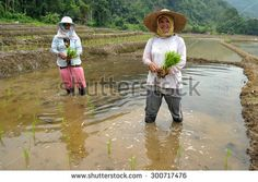 Kiulu Sabah Malaysia-June 20, 2013:Unidentified farmers planting paddy using traditional method at Kiulu Sabah Malaysian Borneo.Most farmers in this area grow paddy for self sufficiency once a year.