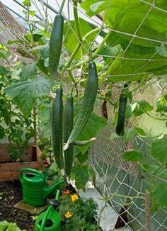 Gurkenanbau im Gewächshaus