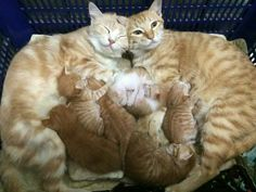 Orange tabby cats, kittens