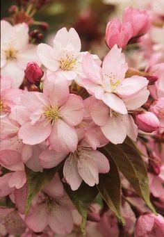 Flor de cerezo Prunus serrulata 'Yae-murasaki' Fotografia de John Glover, uno de los primeros y de los mas importantes fotografos de jardin del Reino Unido