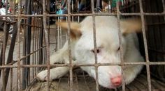 Carne di cane: la Brambilla attacca i paesi asiatici