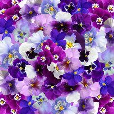 Fiołek Ogrodowy, Wielkanoc, Wiosna, Kwiaty, Kolorowy