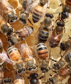 #DidYouKnow that there are many different breeds of honey bees? One of the main ways of differentiating breed is by hue. Bees range from dark black to light gold, and every combination in the middle. When a queen breeds, she mates with drones from many hives, often resulting in a variety of different-colored offspring. Take these ladies, all from the same hive, in a gorgeous range of golden colors. More information on the different breeds…