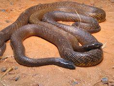 The Inland Taipan (Oxyuranus microlepidotus) Winter coloration Inland Taipan, Cool Snakes, Pit Viper, Snake Venom, Beautiful Snakes, All About Animals, Australian Animals, Reptiles And Amphibians, Black Mamba