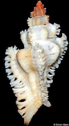 Chicoreus fosterorum
