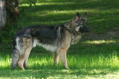 shiloh shepherd photo | Recent Photos The Commons Getty Collection Galleries World Map App ...