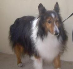 Cody is an adoptable Shetland Sheepdog Sheltie Dog in Palm Bay, FL. APPLICATION IS REQUIRED PLEASE GO TO OUR WEB SITE WWW.MIDFLSHELTIERESCUE.COM For safety reasons, an Adoption Application must be fil...